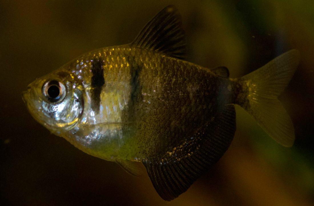 Pez monjita for Peces para acuarios pequenos