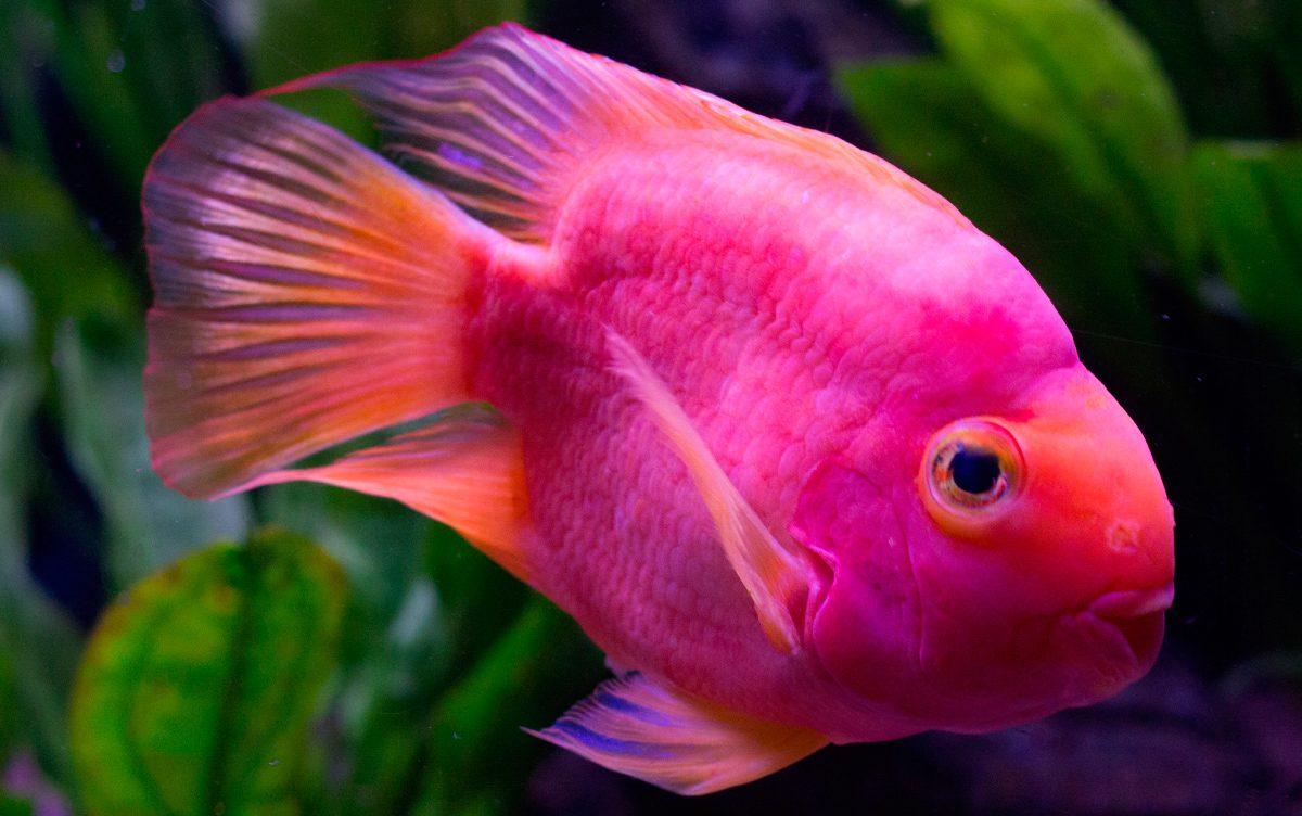 Image gallery peses for Peces de agua fria de colores