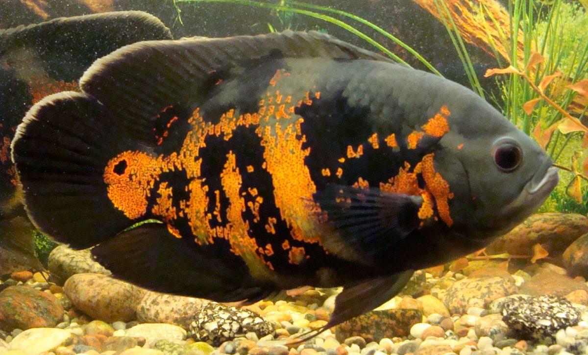 Resultado de imagen de oscar pez