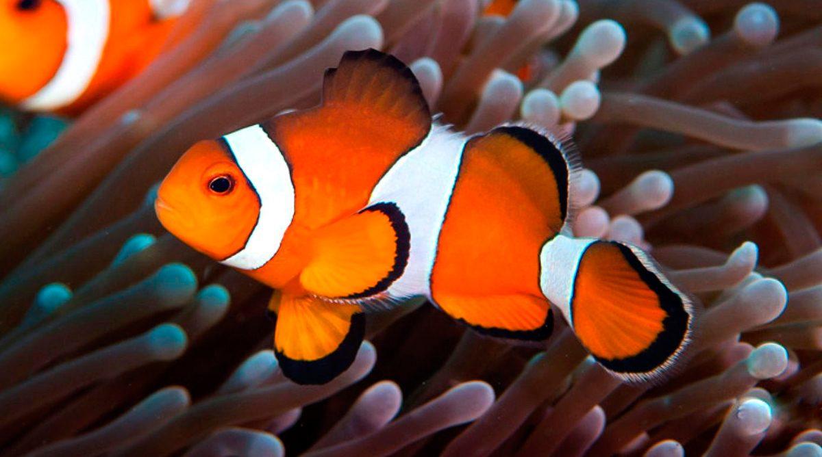 Resultado de imagen de pez payaso