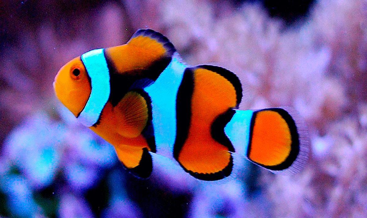 Ciclo de vida del pez payaso  Imgenes y fotos