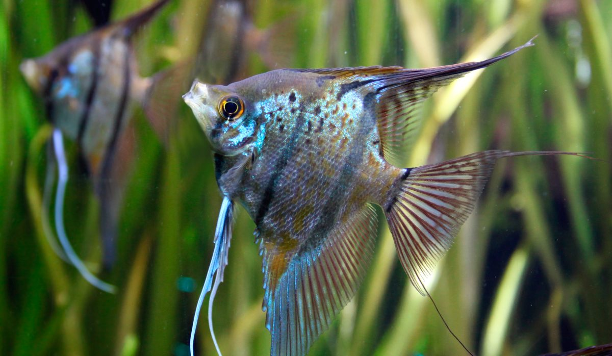Pez ngel for Tanques para cria de peces