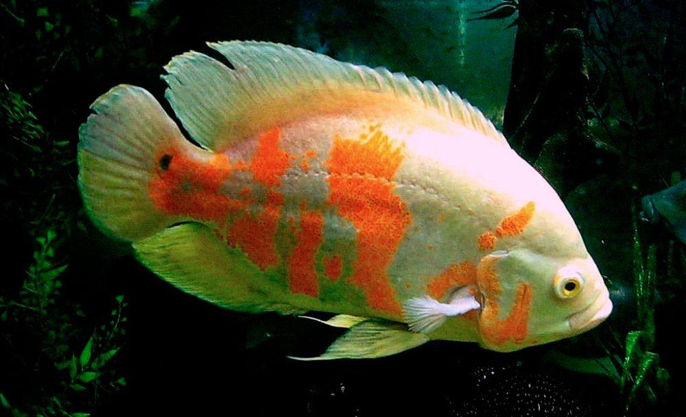 Fotos de pez oscar 26