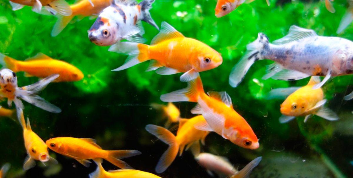Peces gu a de especies informaci n b sica fotos y dibujos for Especies de peces