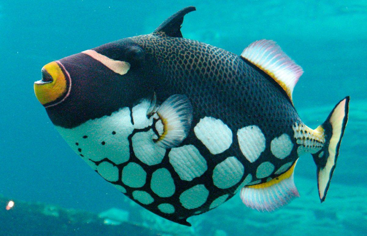 Resultado de imagen para pez ballest