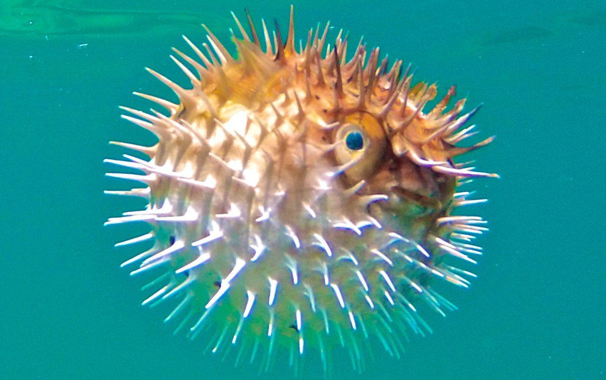 Resultado de imagen de pez globo