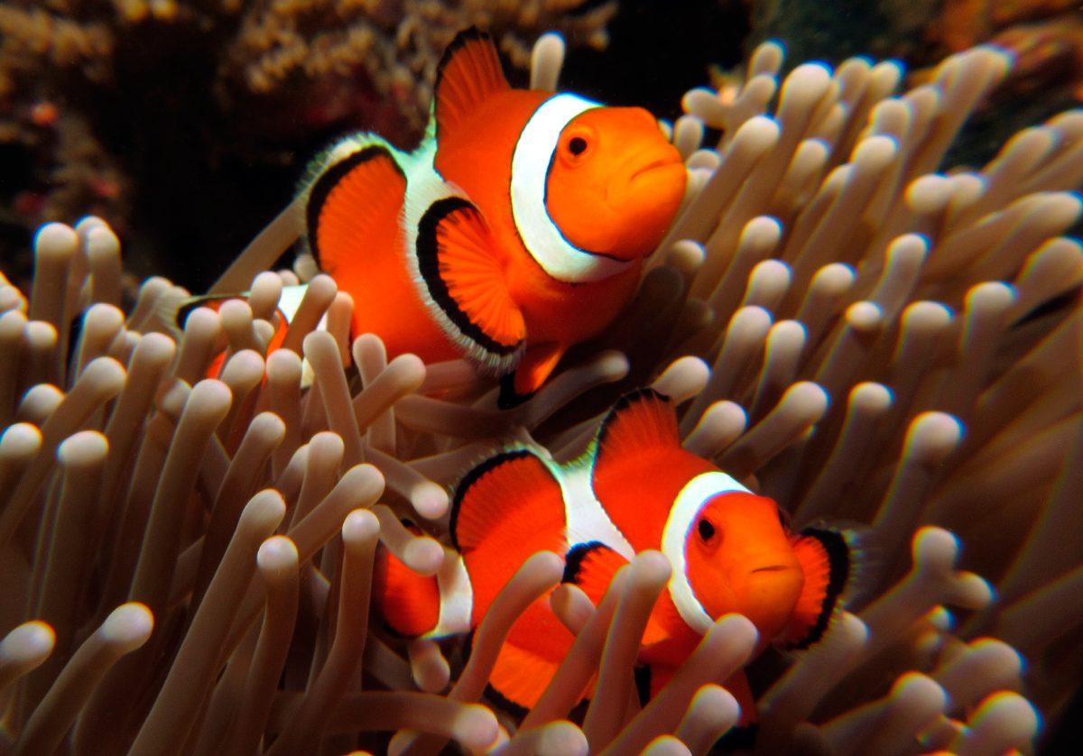 Imagenes de peces payaso  Imgenes y fotos