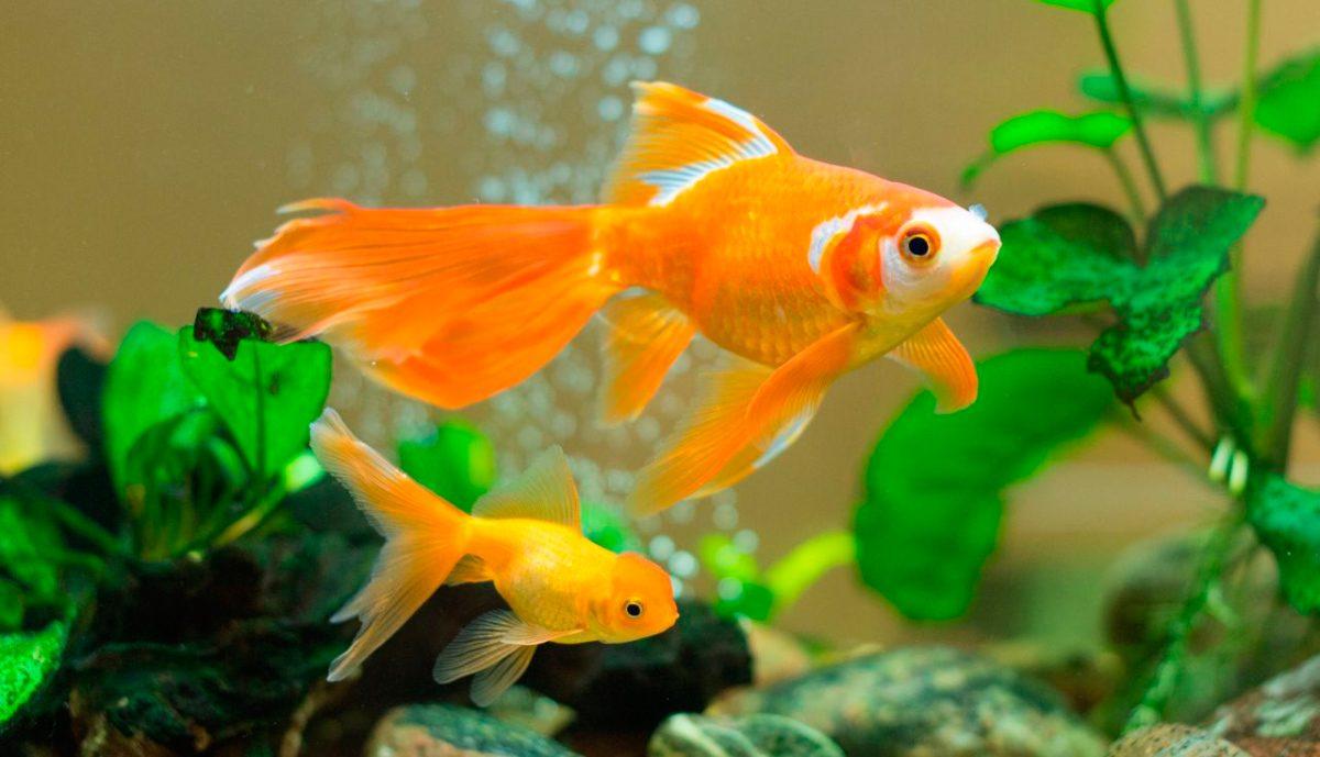 Pez carpa dorada for Carpa pesce rosso