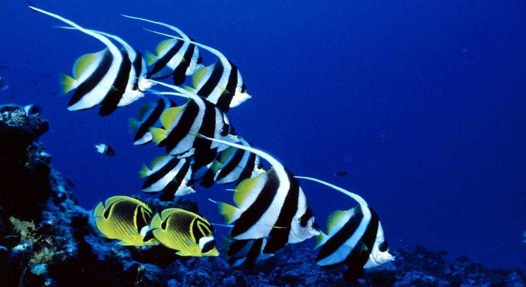 Peces gu a de especies informaci n b sica fotos y dibujos for Peces tropicales