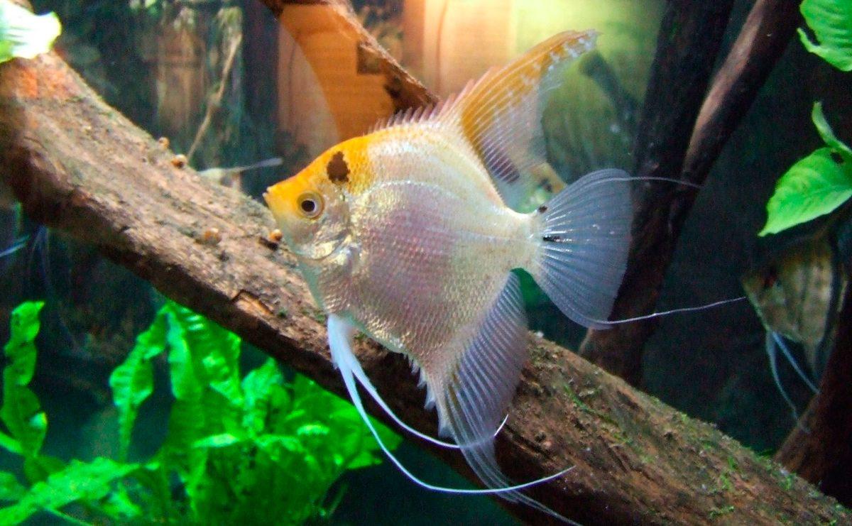 Pez ngel for Tipos de jaulas para peces