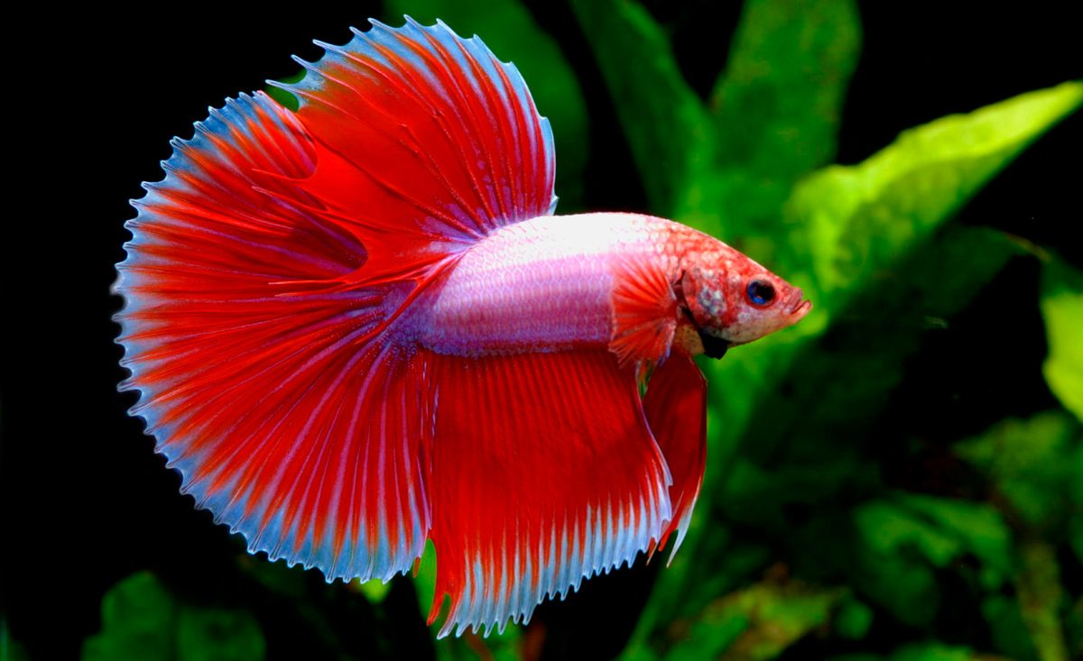 Pez betta for Red para peces de acuario