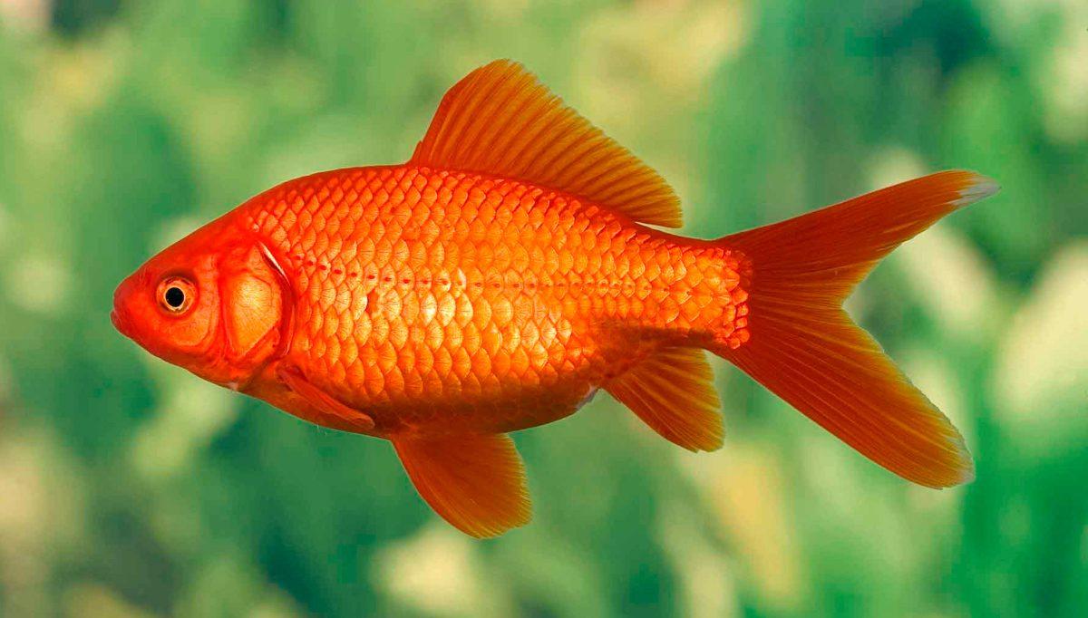 Pez carpa dorada for Los mejores peces de agua fria