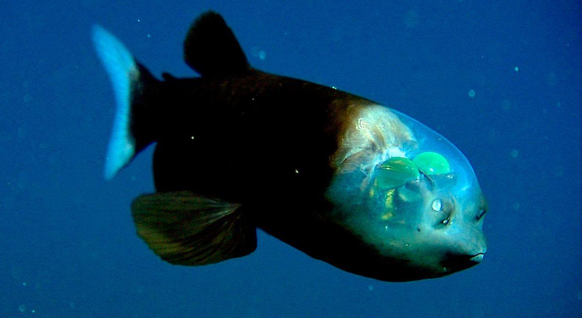 Whoa Big Fella further Peces Del Mediterraneo Mallorca besides Astronotus Ocellatus in addition Oscar tank 8 furthermore 483644447454938719. on oscar fish species