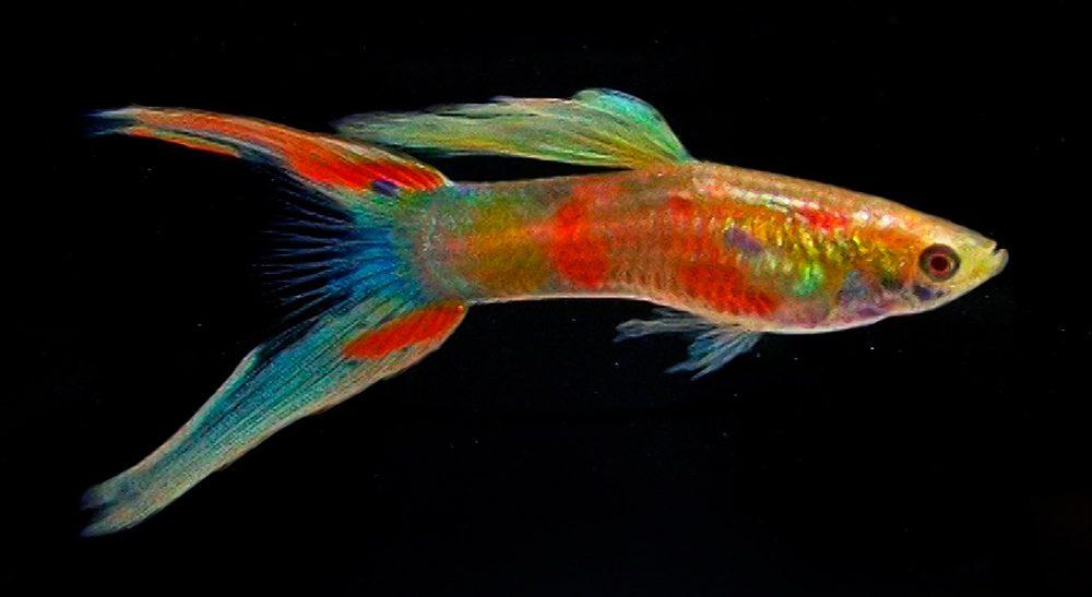 Pez guppy for Criadero de peces de colores