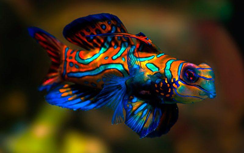 Pez mandar n for Pintura para estanques de peces