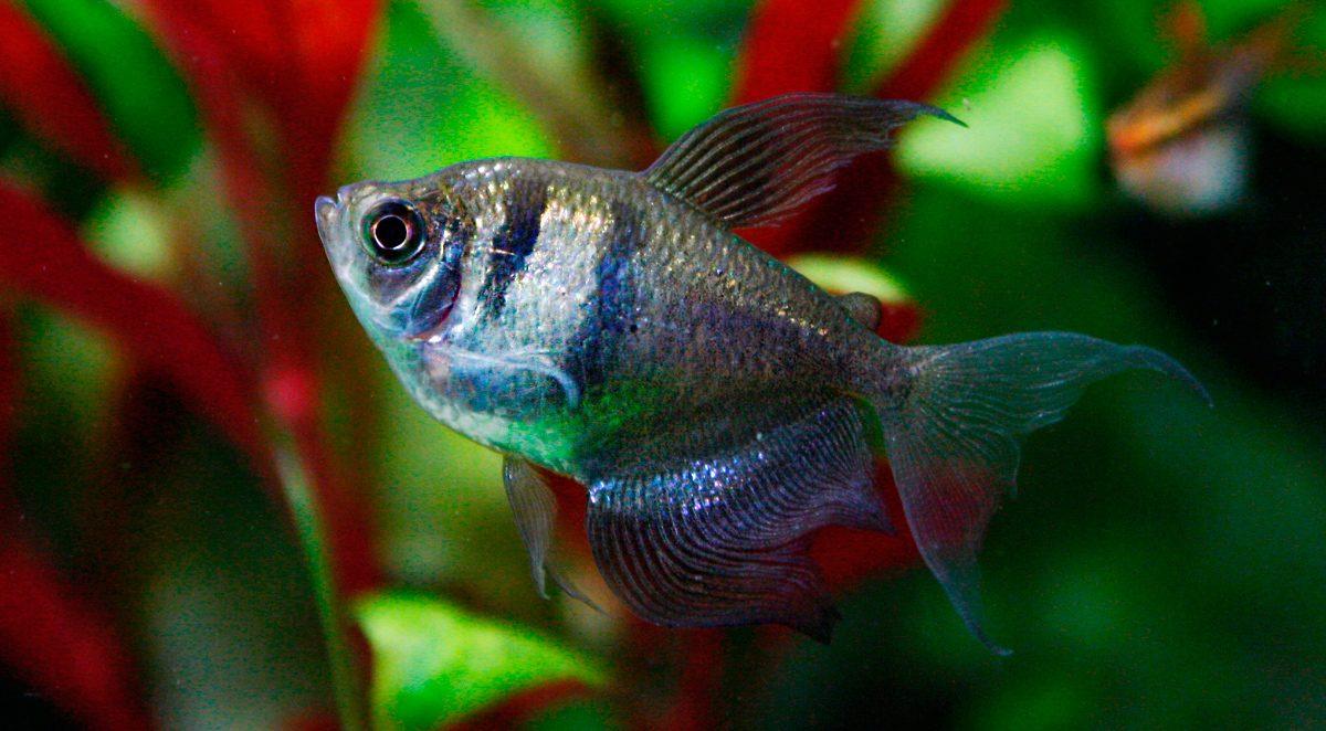 Pez monjita for Plantas para estanques de peces