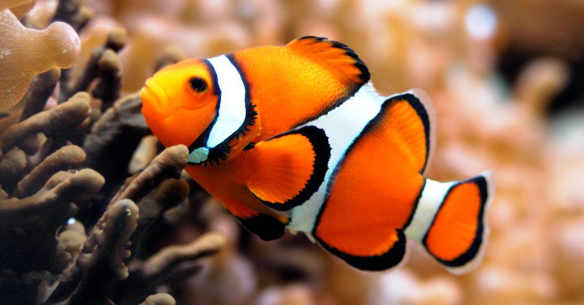 Peces gu a de especies informaci n b sica fotos y dibujos for Tipos de jaulas para peces