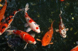 Pez arco ris for Como hacer un lago para peces